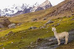 Un Alpaca dans les Andes (Montre ce qu'il voit!) Tags: alpaca montagne pérou vilcanota pentaxk5 ilobsterit julienvidal