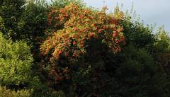 Vogelbeere oder Eberesche (Sorbus aucuparia) bei Klein Bennebek 13 (Chironius) Tags: trees tree fruit germany deutschland rboles boom fruta arbres rbol alemania frukt albero frutta frucht bume allemagne arbre rvore baum trd germania  schleswigholstein rosales ogie aa  pomie rosaceae buah  eberesche  sorbus meyve owoc  niemcy pyrinae  rosoideae rosids    stapelholm rosengewchse mehlbeeren pomienie rosenartige kernobstgewchse pyreae szlezwigholsztyn fabids