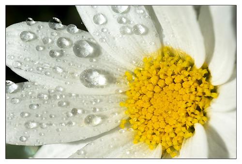 moon daisy