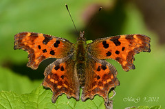 C-Falter - Comma Butterfly (MaiGoede) Tags: macro nature animals fauna germany deutschland tiere europa europe natur insects natura lepidoptera matthias makro germania tier insekten gehakkeldeaurelia schmetterlinge niedersachsen nymphalidae polygoniacalbum commabutterfly naturfoto cfalter robertlediable butjadingen fedderwardersiel impressedbeauty flickraward flickrdiamond cblanca sommerform goldstaraward d7000 nikond7000 flickraward5 cmatthiasihriggoede ihriggoede eigentlicheedelfalter impressionenvomherbst poligonialetterac