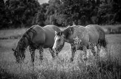 grazing pair (Jen MacNeill) Tags: horses blackandwhite bw horse grass pennsylvania meadow pasture lancastercounty grazing equine graze buckskin quarterhorse jennifermacneilltraylor jmacneilltraylor jennifermacneill jennifermacneillphotography