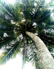 IMAG0662 (Prashan Perera) Tags: tree coconut
