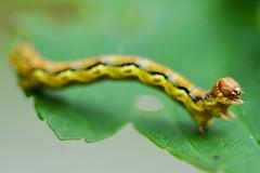 Caterpillar (stephanrudolph) Tags: macro nature animal germany deutschland nikon europa europe handheld sauerland 105mm 105mmf28 105mmf28gvrmicro d700