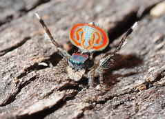 Maratus sp. (beeater) Tags: