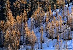 Golden Larches (Ed.Stockard) Tags: autumn trees tree fall washington cascades fir wa deciduous larch tamarack northcascades goldenlarch