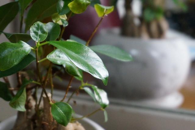 観葉植物ガジュマルの風水的効果、置き場所や方角のポイント