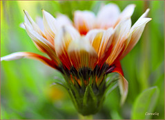 ♥ (✾`*• corneliq ✾`*•) Tags: orange flower nature garden ngc coth nikond300