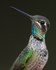 Magnificent Hummingbird (Explore) (Eric Gofreed) Tags: arizona hummingbird maderacanyon santacruzcounty magnificenthummingbird