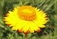 YSempre-Viva_020081Web (Marcelo Piraj) Tags: flres helichrysumbracteatum sempreviva plantasornamentais pndachapadadiamantinabahiabrasil flrdepalha