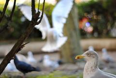 48/365 (MegsPhotosUK) Tags: city uk urban food seagulls color bird art colors birds contrast colorful colours artistic bokeh pigeon gull pigeons gulls centre birding flight plymouth fast shutter feed contrasts fastshutterspeed bokehart artbokeh