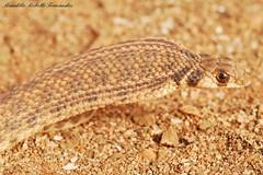 Rhagheris moilensis-Figuig (Budi Rebollo Fernandez) Tags: morocco marruecos figuig moilensis rhagheris
