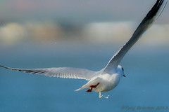 Bombs Away.... (Tony Brierton) Tags: ireland sea birds photography flying marine harbour wildlife gulls 300mm wicklow birdwatching jpegs