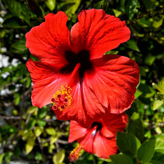 Red Hibiscus (rschnaible) Tags: red flower green portugal yellow botanical coast community colorful south sightseeing tourist coastal hibiscus squareformat destination sight algarve the quarteira