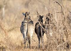 Zèbres - Madikwe NP (Harfang76) Tags: zèbre zbre