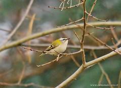 Fiorrancino (edmondo rizzo) Tags: uccelli bologna fiorrancino animaliliberi