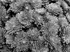 The Red Flowers (David Hoffman '41) Tags: flowers blackandwhite bw nature beauty design virginia petals pattern darkness natural blossoms form replication multiplication repeating appomattoxcounty