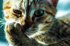 Aris e le sue espressioni tanto umane.. (Flavia-cyb) Tags: gatti animali