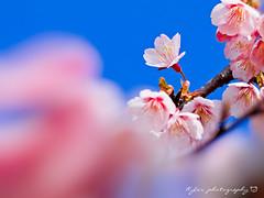 Sakura () Tags: park travel pink flowers trees light sky white plant flower macro tree castle nature japan garden cherry spring blossom bokeh blossoms taiwan sigma olympus apo  cherryblossom  sakura cherryblossoms    f28 cherrytree e30 cherrytrees     cherryblossomfestival     150mm  sigma150mmf28  150mmf28 macroquot quotsigma sigmamacro150mmf28  sigmaapomacro150mmf28