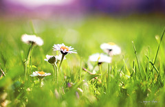 Daisies (Romana Rihova) Tags: flower detail macro green grass daisies spring meadow daisy