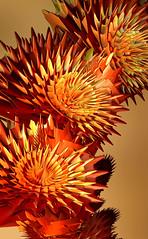 Metal Seed Heads (Martin Cooper Ipswich) Tags: metal spiky head seed fractal incendia sphericalharmonics friendlychallenges incendiaexv quaternionifs