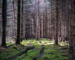 Forest Light 4 (osh rees) Tags: trees winter light green 120 mamiya film wales forest dark landscape woods shadows kodak scan epson medium format 100 snowdonia cwm clearing 80mm ektar mynach v500 7ii