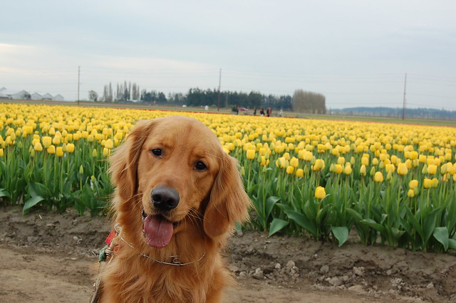 Cooper checking out the tulips