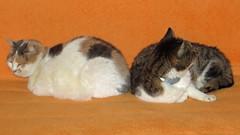 Pauline+Mieze_4248 (Wayloncash) Tags: tiere andalusien katzen spanien almayate