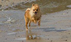 Boo the Pomeranian. (CWhatPhotos) Tags: pictures uk sea portrait england dog pet color colour macro beach dogs canon that lens eos prime coast photo pom sand with image photos pics dwarf sandy north picture pic images 100mm east photographs photograph 7d 28 dslr pooch pomeranian which spitz has f28 ef contain pompom hartlepool containing crimdon zwergspitz thelittledoglaughed cwhatphotos ldlportraits dwarfspitz crimndon