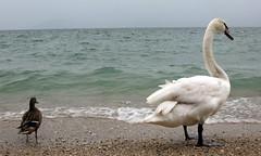 Friends (Cristina Birri) Tags: friends primavera lago spring garda amici spiaggia sirmione anatra cigno