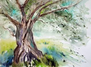 153 Olivenbaum im Frühling