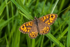 Wall Brown (Lasiommata megera) (BiteYourBum.Com Photography) Tags: england brown nature wall butterfly sussex wildlife trust eastsussex canonef1740mmf4lusm lewes swt ipad wallbrown nnr nationalnaturereserve mountcaburn canonefs60mmf28macrousm lasiommatamegera sussexwildlifetrust biteyourbum southerham canoneos7d appleipad dawnandjim canonspeedlite430exii burnttip caburnbottom sigma50500mmf4563dgoshsm lewesdowns loweproprorunner350aw southerhamnaturereserve biteyourbumcom camranger lewesdownsnationalnaturereserve lewesdownsmountcaburnnnr
