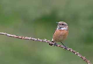 Female Stonechat-Saxicola torquata, Perched On Bramble, Calling, Spring, Uk
