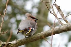 HNS_2860 Pestvogel (Bombycilla garrulus)