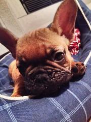 Wendy (mary.gulotta) Tags: dog cane wonderful puppy wendy popular francese bouledogue orecchie
