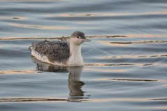 Drifting. (stonefaction) Tags: city red nature birds dave scotland dundee wildlife quay diver throated