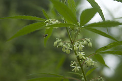 Cannabis (siddarth.machado) Tags: male bee var cannabis sativa dehradun ganja indica pollinating uttarakhand cannabaceae cannabisindica