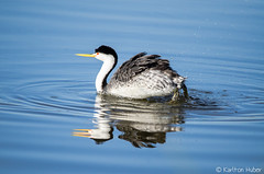 Clark's Grebe - 8471 (www.karltonhuberphotography.com) Tags: lake bird eye nature water horizontal morninglight pond action wildlife beak feathers peaceful diving longneck wetlands marsh ripples southerncalifornia waterdrops naturalworld naturephotography 2015 clarksgrebe birdphotography divingduck freflection wildlifephotography waterrings nikond7000 clarksgrebeaechmophorusclarkii karltonhuber