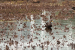 Mottled Duck (Stephen J Pollard (Loud Music Lover of Nature)) Tags: patotexano anasfulvigula mottledduck duck pato bird ave nature naturaleza fauna wildlife