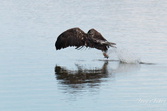 Juvenile Bald Eagle fishing sequence - 5 of 13