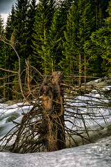 Stump (Askjell's Photo) Tags: wood mountain norway forest canon photo europe flickr image picture stump scandinavia spruce volda whitewood norwayspruce newmindspace throughtheviewfinder askjell