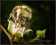 Compounded Stare (Maclobster) Tags: camera eye compound blossom flash off bee raspberry bud bumble