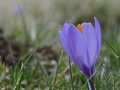 i m a g e (robra shotography []O]) Tags: flower primavera closeup spring focus dof crocus fiore croco crocusvernus sooc