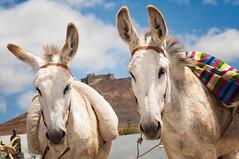 Lanzarote-Esel (GeorgKazrath) Tags: animals urlaub donkey lanzarote dslr esel holyday teguise