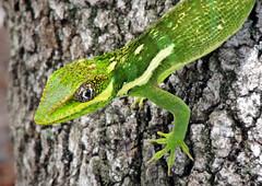 Knight Anole 07 (dan.montesi) Tags: lizard exotic pests carnivore southflorida knightanole cubananole