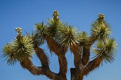Joshua Tree Top (blueslk) Tags: california travel landscape us nationalpark unitedstates desert joshuatree travelphotography landscapephotography