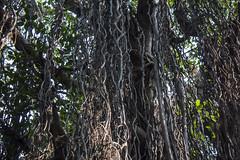 treebeard (Tin-Tin Azure) Tags: old india tree fig year half 500 gandhinagar banyan gujarat acre treebeard vad mahakali taluka dehgam kantharpura