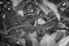 DSC_2409.jpg (Foster's Lightroom) Tags: trees plants au sydney australia newsouthwales zoos tarongazoo primates mosman tamarins cottontoptamarins