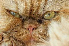 Carlo is back! (Michael Schnborn) Tags: macro closeup cat persian samsung carlo kater perser persiancat nx500 nx50200f456