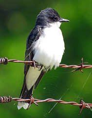 IMG_2687 (lbj.birds) Tags: bird nature wildlife kansas flinthills kingbird easternkingbird