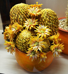 Marzipan Cactus [Szentendre - 6 December 2015] (Doc. Ing.) Tags: flowers cactus plant flower hungary marzipan hu szentendre 2015 marzipanmuseum centralhungary